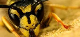 Яд бразильской осы «чисто» убивает раковые клетки