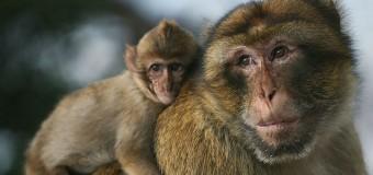 Восстанавливать спинной мозг человека помогут обезьяны
