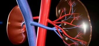 Ученые изучили зараженную поликистозом искусственную почку