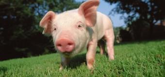 Ученые хотят сделать свиней донорами органов для человека